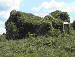 Kudzu-on-house-a-30k