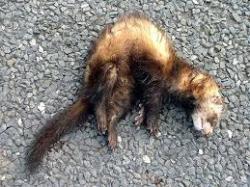 Dead ferret